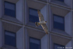 55 Water St. Peregrine Falcons