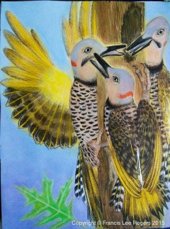 Yellow Shafted Flicker balancing on tree top