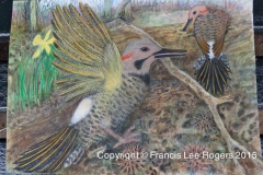 Northern Flicker by Francis Lee Rogers 1