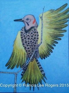 Northern Yellow Shafted Flicker By Francis Lee Rogers 1
