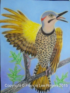 Northern Shafted Flicker By Francis Lee Rogers 2