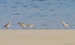 Black bellied Plovers