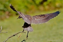 Black-crownedNight-Heron