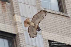 Tompkins-Square-Hawks-6125
