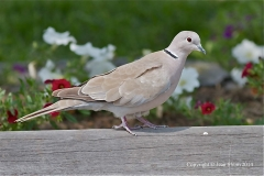 Eurasian Common Dove