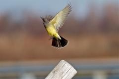 Cassin Kingbird