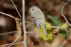 Hammond Flycatcher