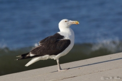 Great Black-back Gull