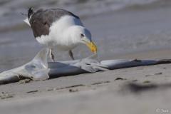 Great Black-back Gull