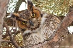 Great-Horned-Owl-9221
