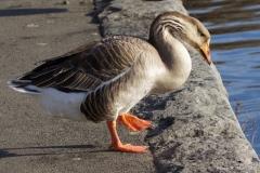 Greylag/Swan Goose Hybrid