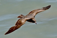 Heermann Gull