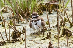 Killdeer-