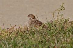 Lapland Longspur Sparrow