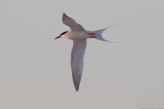 Roseated Tern