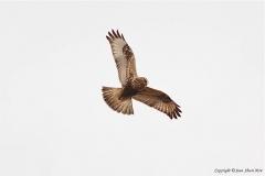 Rough-Legged-Hawk-3307