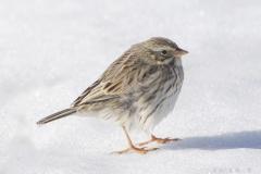 Savannah Sparrow Ipswich
