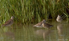 Short-billed Dowitcher's