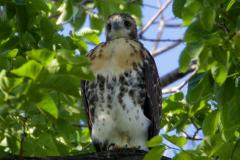 Tompkins Square Park Hawks