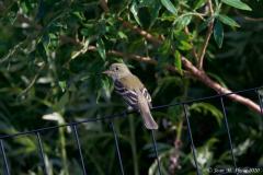 Traill's Flycatcher
