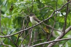 Willow's Flycatcher
