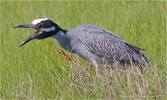 Yellow-Crown Night Heron