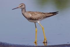 Yellow-leg (Lesser)