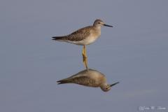 Yellow Leg (Lesser)